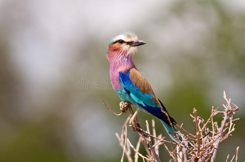Download Lilac Breasted Roller stock photo. Image of nature, travel - 28379138