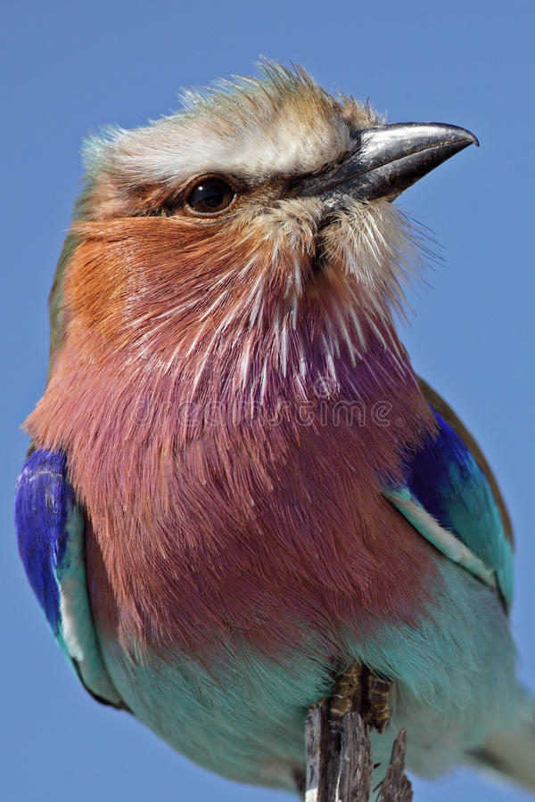 Download Lilac-breasted Roller, Africa Stock Photo - Image: 12494170