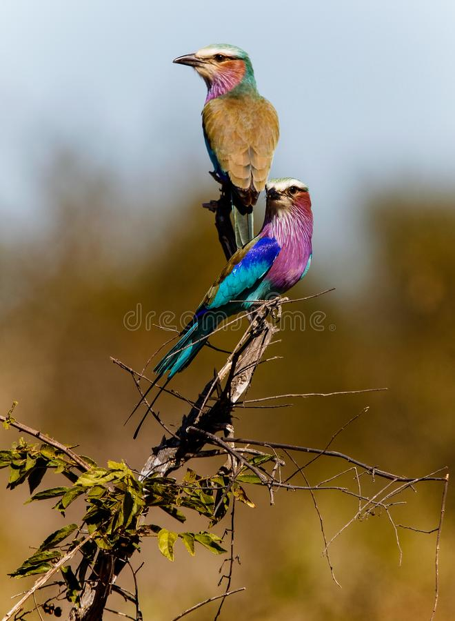 Lilac-breasted Roller, Coracias Caudataus in South Africa royalty free stock images