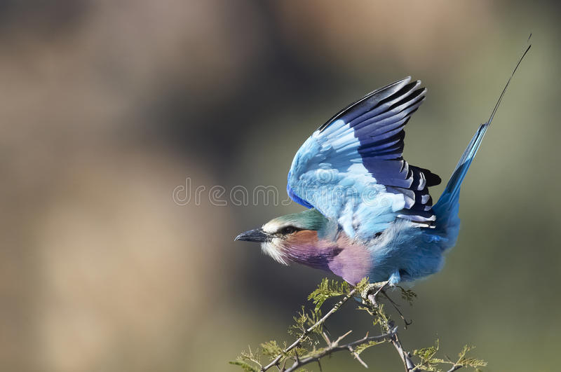 Download Lilac-breasted Roller (Coracias Caudatus) Stock Photo - Image: 26317960