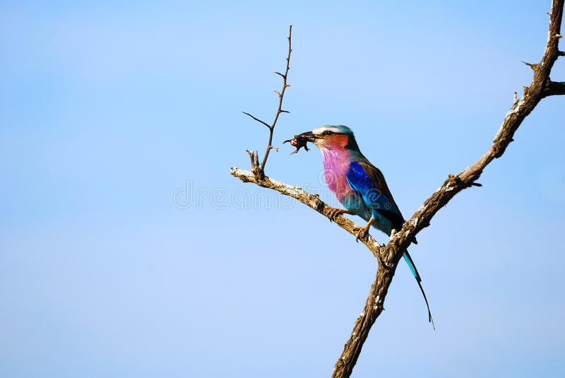 Lilac-Breasted Roller (Coracias caudatus). The Lilac-breasted Roller (Coracias caudatus) is a member of the roller family of birds. It is widely distributed in royalty free stock images