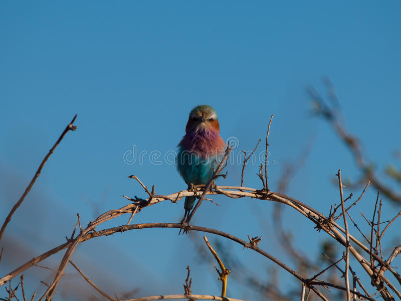 Lilac-breasted Roller (Coracias Caudatus). Beatifully coloured bird of Africa royalty free stock photo