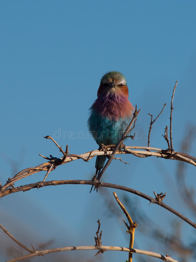 Lilac-breasted Roller (Coracias Caudatus). Beatifully coloured bird of Africa royalty free stock images