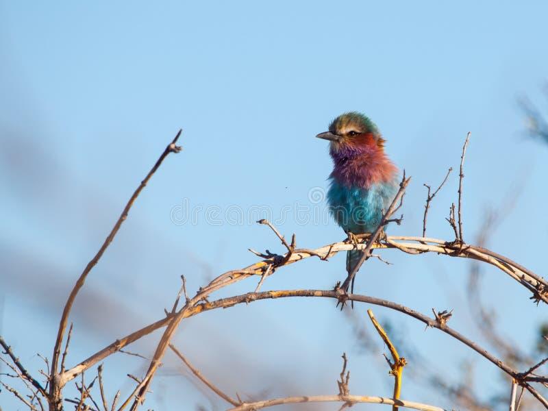 Lilac-breasted Roller (Coracias Caudatus). Beatifully coloured bird of Africa stock image