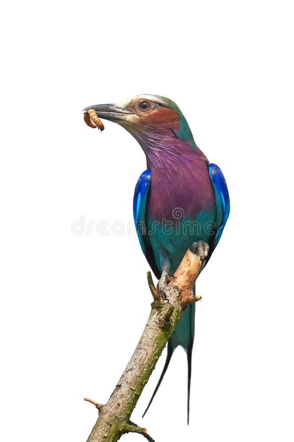 Lilac-breasted roller (Coracias caudatus). Lilac-breasted roller isolated on white with a worm in its beak stock images
