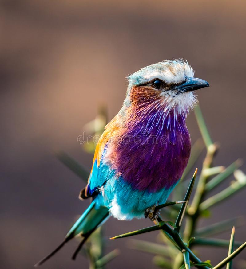 Free Lilac-breasted Roller Coracias Caudatus On Safari Stock Photos - 160943613