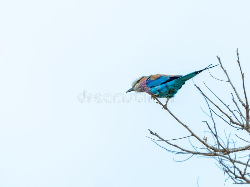 Lilac-Breasted Roller (Coracias caudatus) in South Africa. Bird, birds, nature, rollers, coraciidae, animal, animals, avian, natural, ornithology stock photo