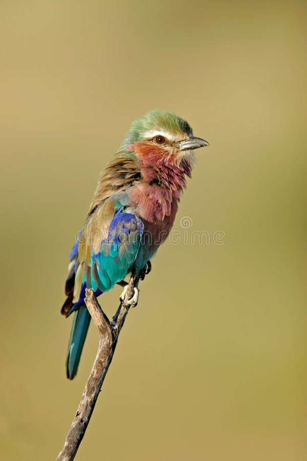 Lilac-breasted roller, Etosha park, Namibia royalty free stock photos