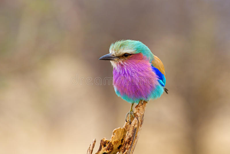 Lilac Breasted Roller Perched. At Kruger National Park, South Africa royalty free stock photography