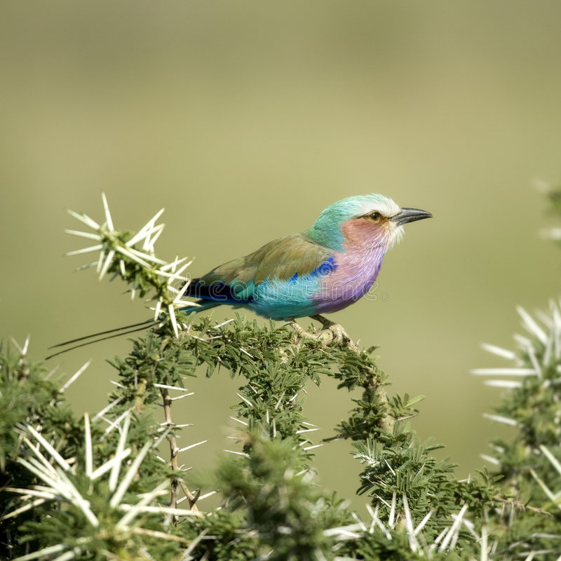 Lilac-breasted Roller In The Serengeti, Tanzania Stock Photography