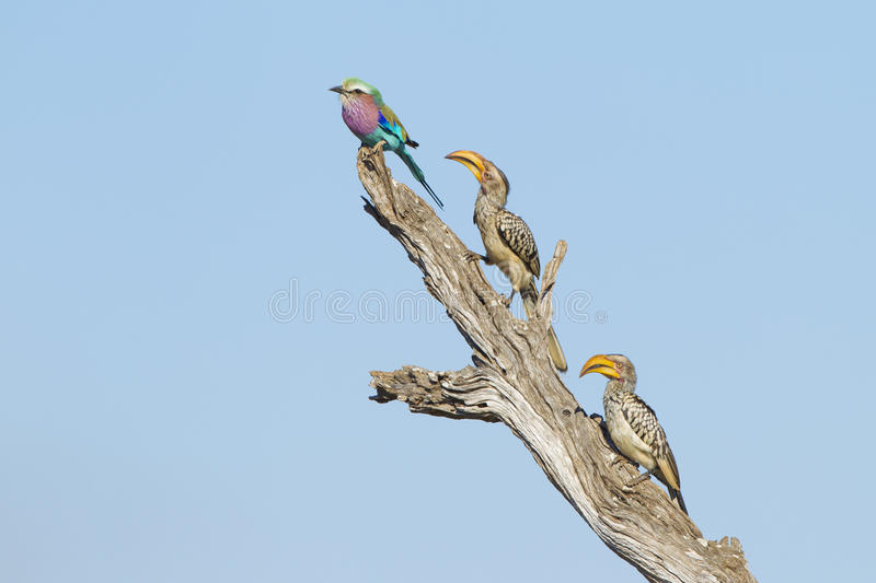 Lilac Breasted Roller And Two Yellow Billed Hornbills Royalty Free Stock Photography