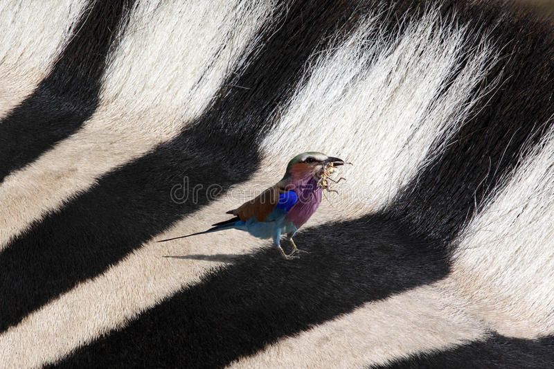 Lilac Breasted Roller and Zebra stock images