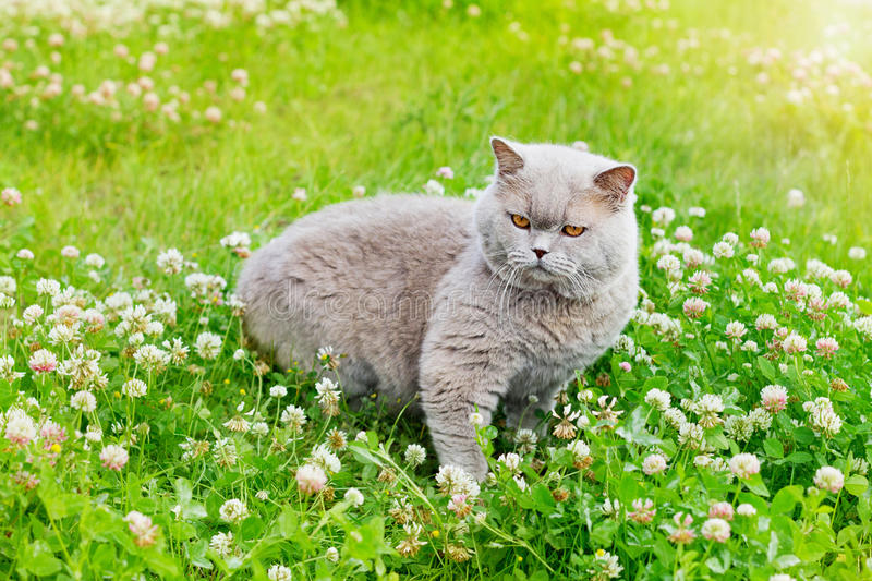 Lilac british cat sitting on a summer green grass royalty free stock images
