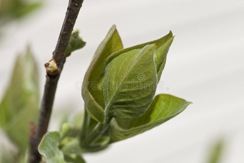 Lilac Bud royalty free stock photo