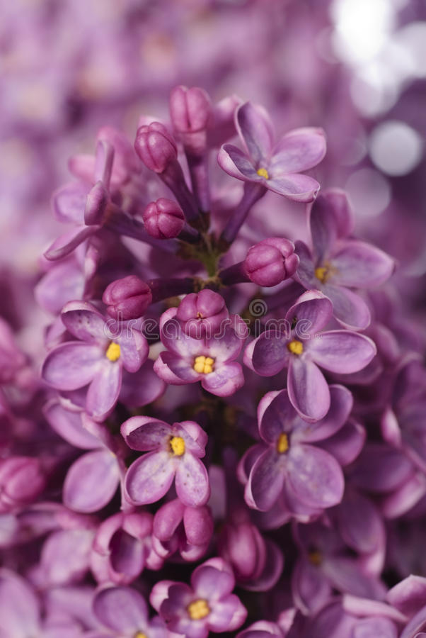 Free Lilac Bud Macro Royalty Free Stock Photo - 14161115