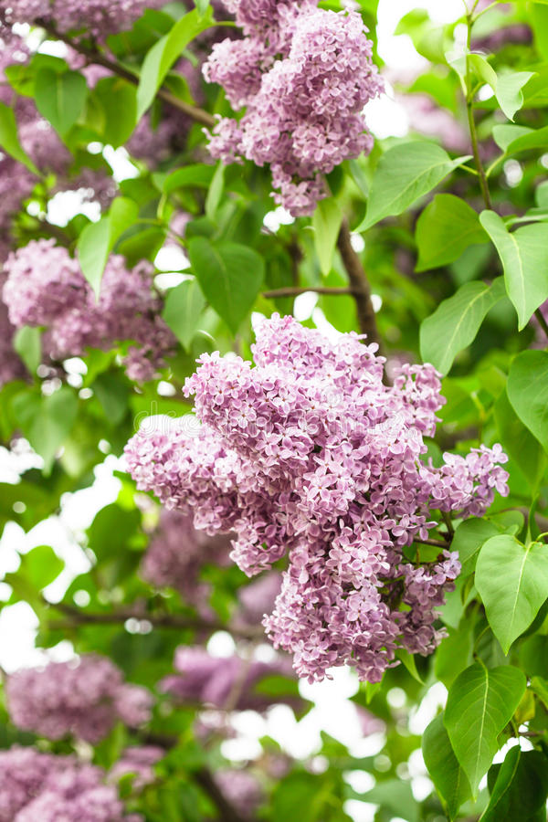 Download Lilac bush stock photo. Image of pistil, purple, green - 25774634