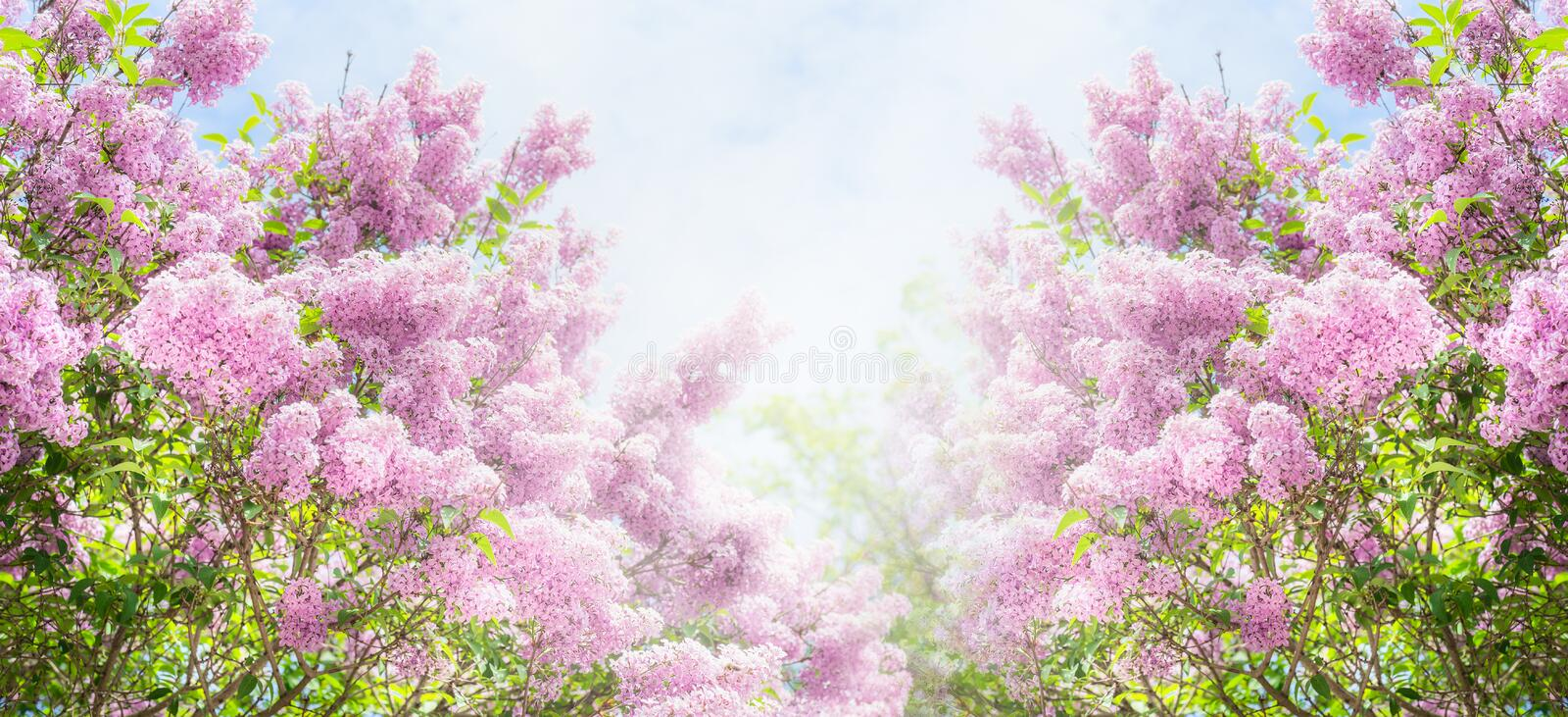how to cut flowers from a lilac bush