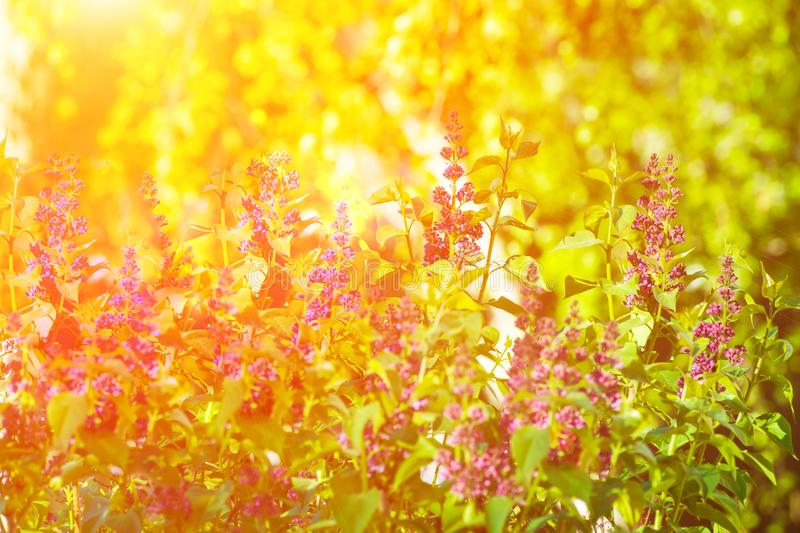 Lilac Bush in Spring Summer Time beautiful Purple Flower Twigs Vibrant Green Foliage Golden Sunlight Forest Meadow Tranquility royalty free stock photos