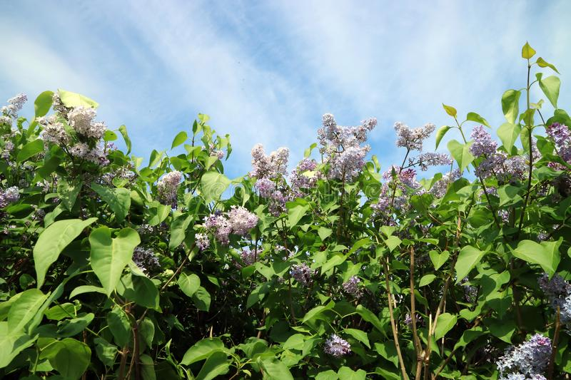 The lilac bushes in the summer under a blue sky as background. For design royalty free stock images