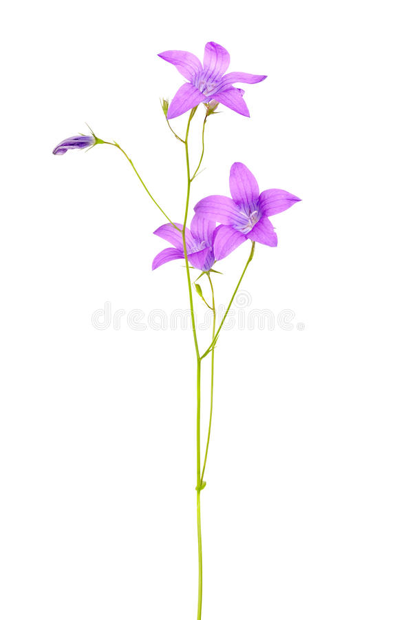 Lilac campanula flowers isolated on white stock photography
