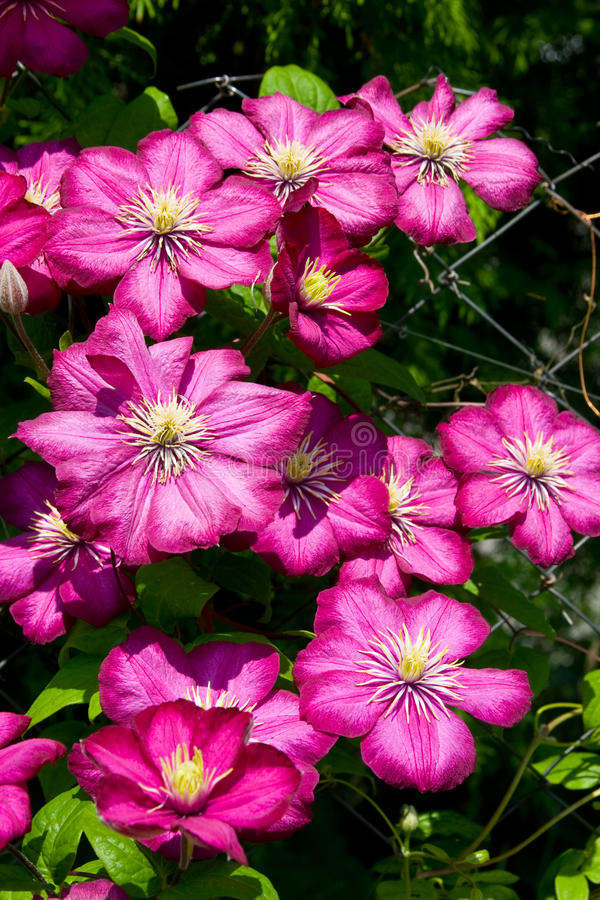 Lilac clematis stock photography