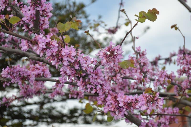 Lilac closeup blossoming royalty free stock photography