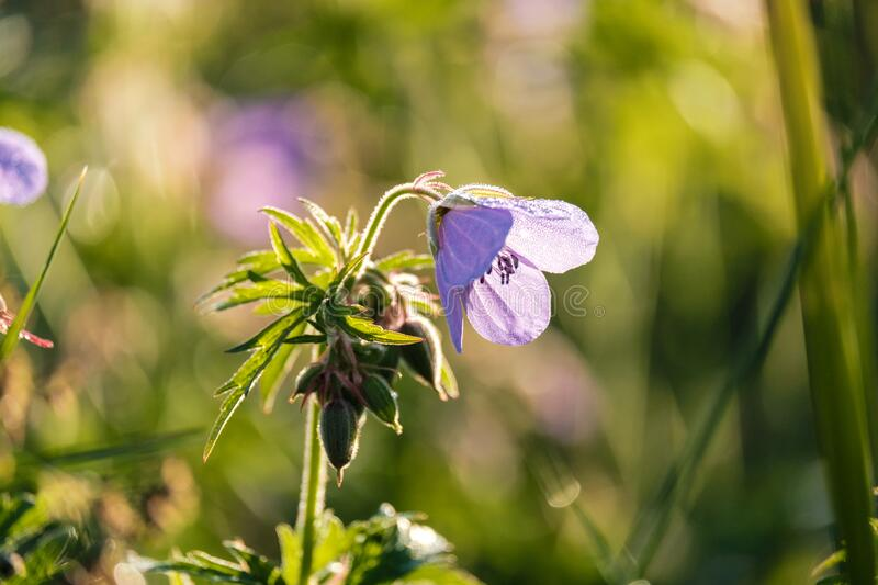 A lilac-colored field flower is illuminated with a low point in the early morning. By the contrasting sunlight stock photography