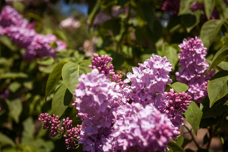 Lilac with bee. Colorful purple lilacs blossoms with green leaves. Lilac. Colorful purple lilacs blossoms with green leaves. Floral pattern. Lilac background royalty free stock images