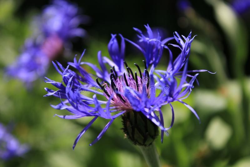 Lilac cornflower on a background of green grass. Close up. Purple flower in the field. Beautiful royalty free stock photo