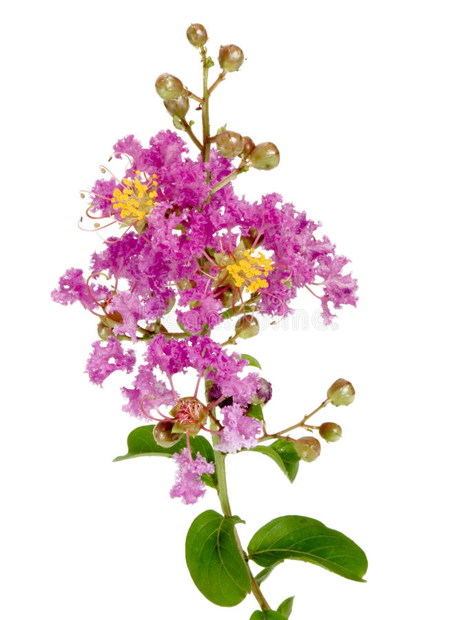Free Lilac Crepe Myrtle Branch With Flowers Royalty Free Stock Image - 13133016