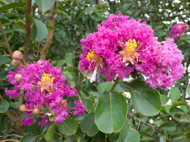 Lilac Crepe Myrtle with flowers. Two lilac crepe myrtle flowers in its tree royalty free stock photography