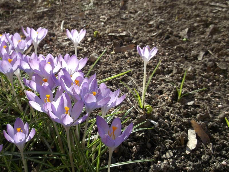 Lilac crocuses. Spring flowers. Horizontal photo. Lilac crocuses. Spring flowers. Beauty of nature. Horizontal photo stock photo