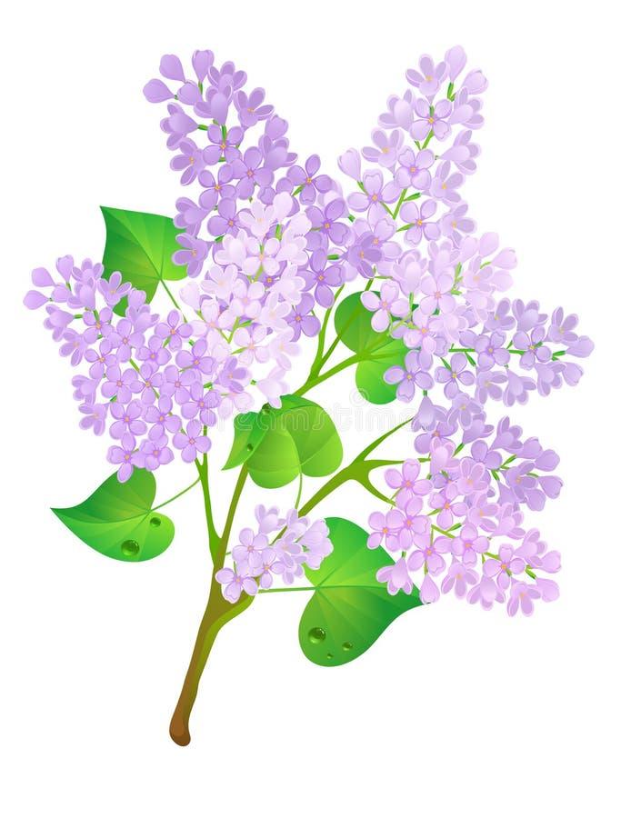 Lilac da flor. ilustração royalty free