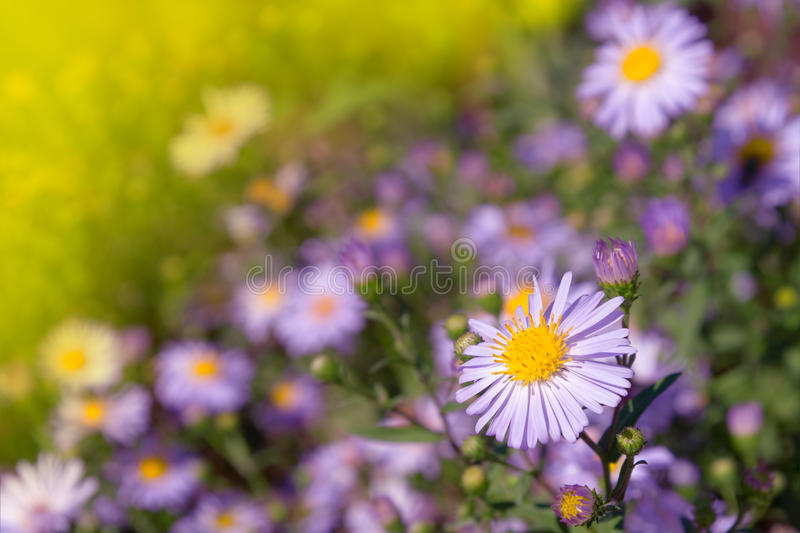 Download Lilac daisies stock image. Image of garden, macro, green - 21446335