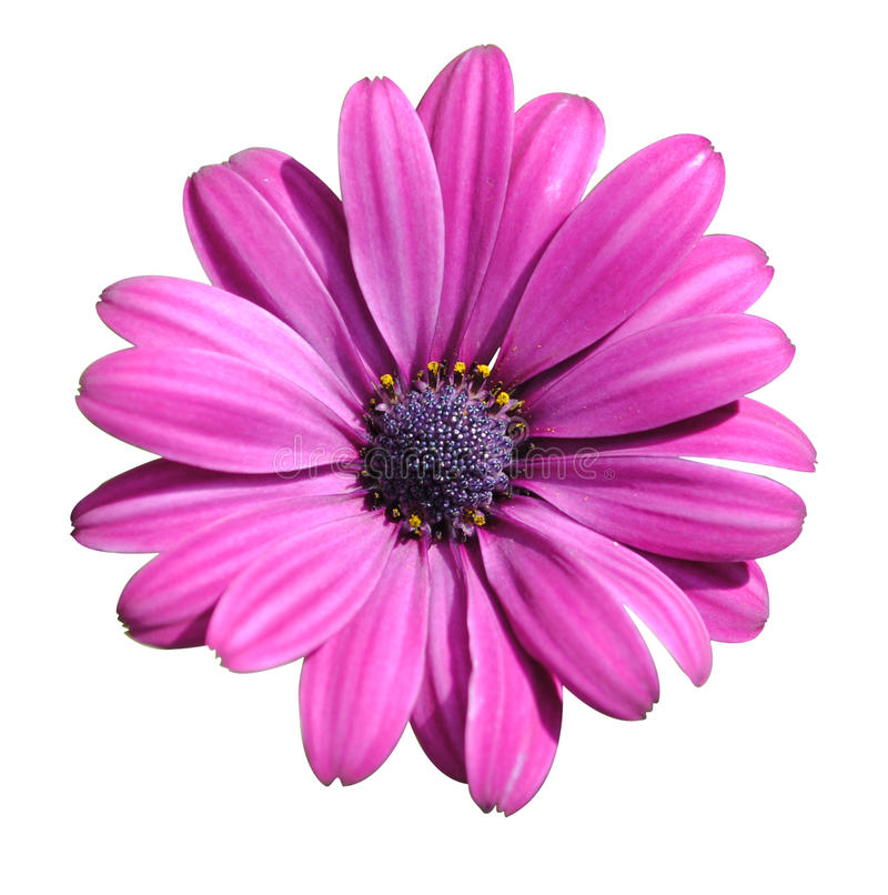 Download Lilac daisy stock image. Image of fashion, color, macro - 26653491