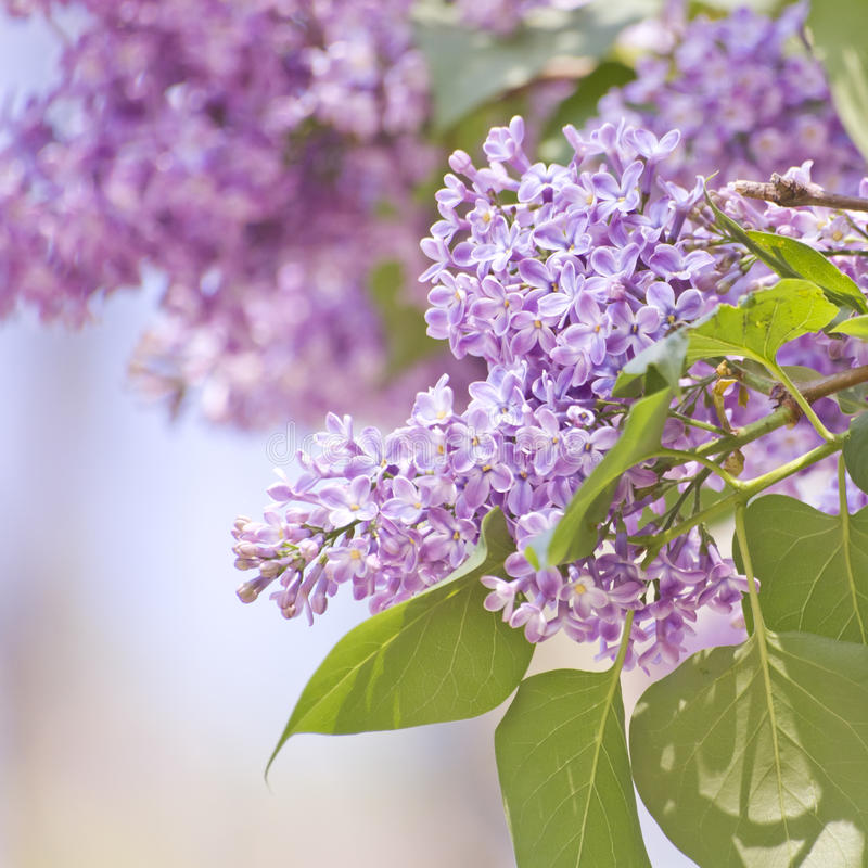 Lilac in detail royalty free stock images