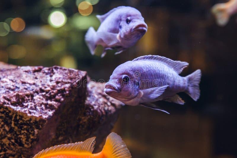 Lilac exotic fish stock image
