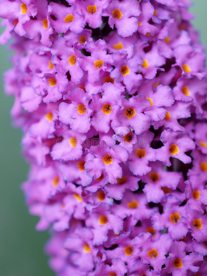 Lilac Flower. Detail of lilac Buddleia flower. Normally found together with many others on the commonly named Butterfly Bush stock images