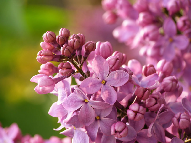 Lilac flower stock image