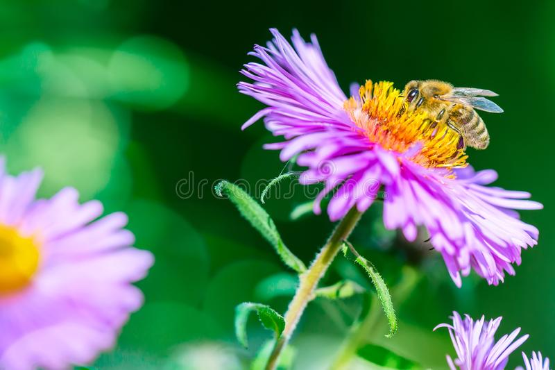 Lilac flower with a bee collecting pollen or nectar. Banner style artistic fantastic beautiful nature image. Bee macro close up royalty free stock photo