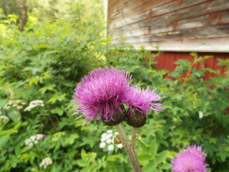 Lilac flower of a Thistle in the garden in the summer stock photo