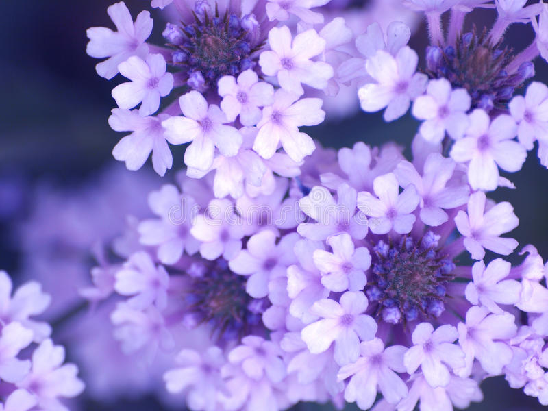Download Lilac flowers stock photo. Image of petals, lilac, blue - 10475272