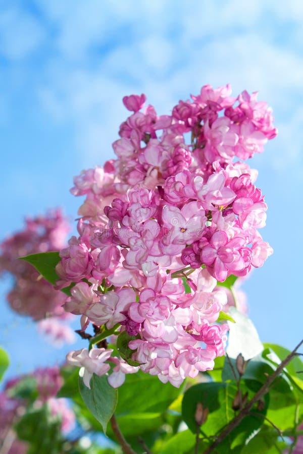 Free Lilac Flowers Stock Photos - 14579643