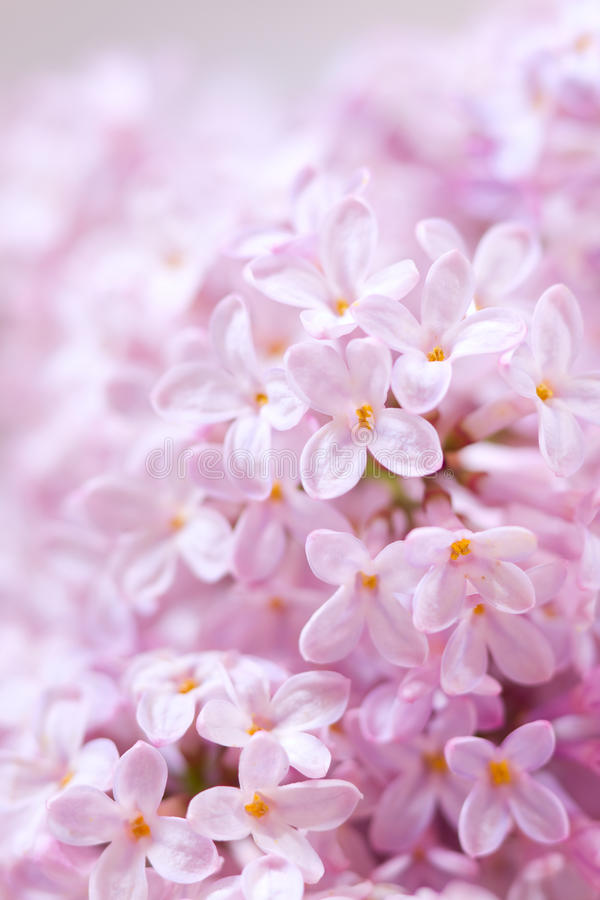 Lilac Flowers Royalty Free Stock Photography