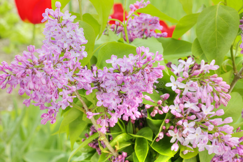 Lilac flowers royalty free stock images