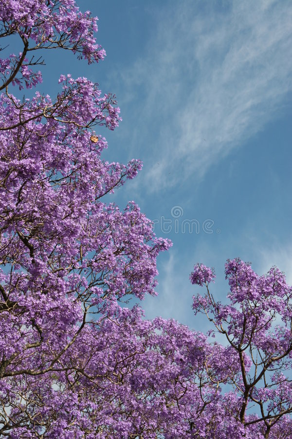 Lilac flowers blooming on tree stock image