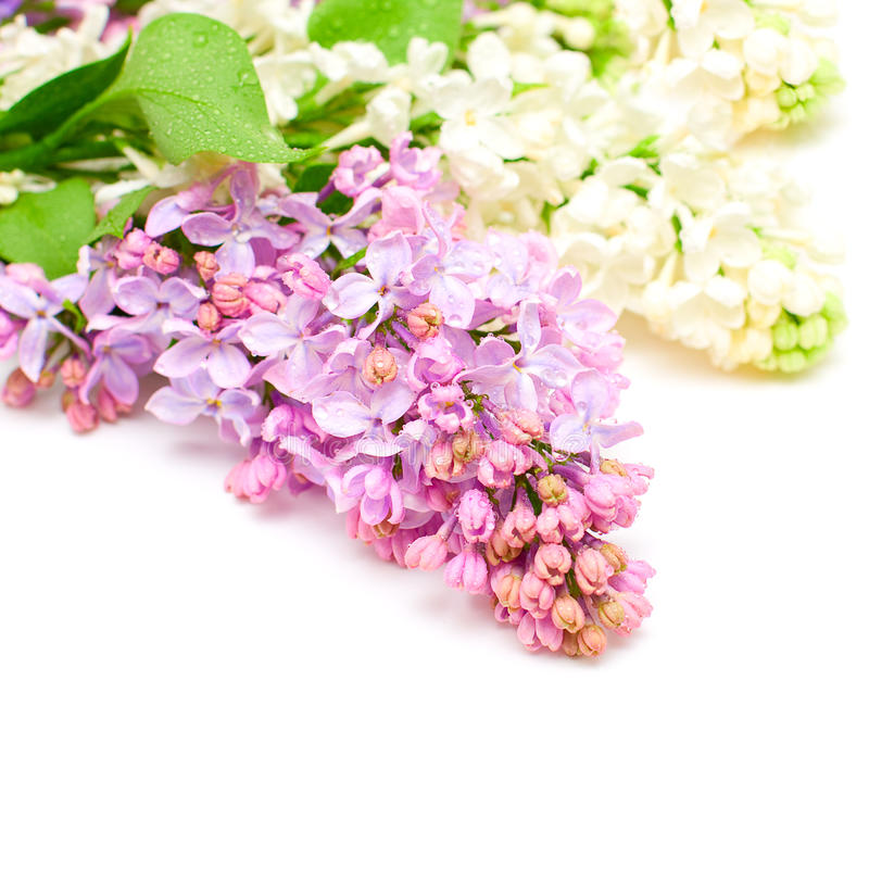 Lilac flowers bouquet. Floral border royalty free stock images