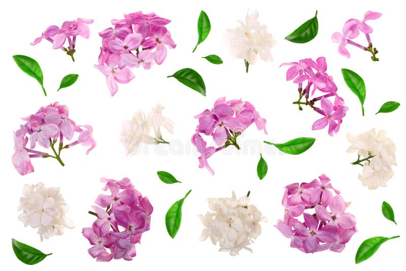 Lilac flowers, branches and leaves isolated on white background. Flat lay. Top view.  stock illustration