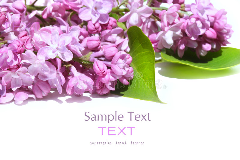 Lilac flowers isolated against white stock image