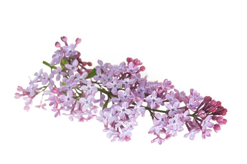 Lilac flowers Syringa. Lilac flowers isolated on white background royalty free stock images